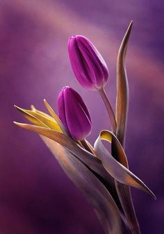~~ Lila Tulpen von Mycatherina ~~ - ~~Purple Tulips by Mycatherina~~ ~~ Lila Tulpen von Mycatherina ~~ Flowers Nature, Exotic Flowers, Amazing Flowers, My Flower, Spring Flowers, Flower Power, Beautiful Flowers, Beautiful Pictures, Flower Vases