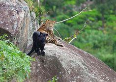 A rare melanisitc leopard along with a 'normal' coloured leopard - Nilgiris. Image: Sivilingam & R. Prakash/Sanctuary Awards 2010.