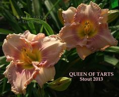 "(H. Stout 2013) D. 5.6"", 27"", E,M. Rebloom, Diploid Very regal pink with rose eyes and great ruffling! DAYLILIES SHIP MAY- JUNE and AUGUST- SEPTEMBER DEPENDING ON YOUR REGION."
