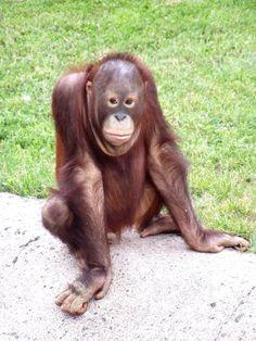 Hoy en @zoomadrid ha sido el #cumplezoo del Orangután Dahi. ¡Felicidades!