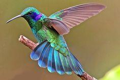 Tropical Birds, Exotic Birds, Colorful Birds, Hummingbird Pictures, Hummingbird Tattoo, Pretty Birds, Beautiful Birds, Dragon Eye, Bird Drawings