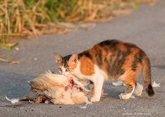 Feral cat eating a chicken .Okinawa-Japan | by Okinawa Nature Photography