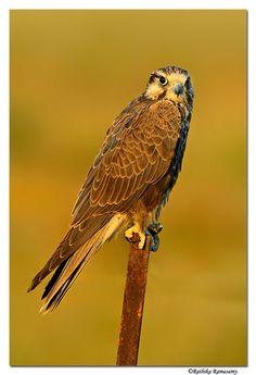 laggar falcon - Google Search