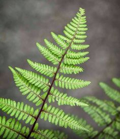 Fern -  I think it would be so cool to do a big, lifesize fern tattoo