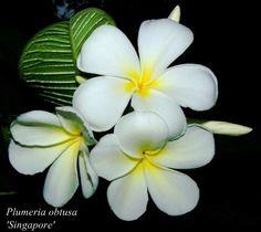 Read about the interesting history of Plumeria - Frangipani plants. #plumeria #frangipani