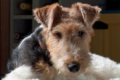 Races de chiens: Fox-terrier - Frawsy