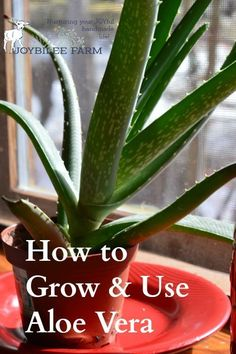 """Aloe is a """"first aid kit in a plant"""" according to Rosemary Gladstar. Organic Gardening, Gardening Tips, Rosemary Gladstar, Skin Irritation, All Nature, Growing Herbs, Growing Flowers, Aid Kit, Medicinal Plants"""