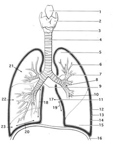 Respiratory System Coloring Sheets respiratory system coloring page coloring trend medium size Respiratory System Coloring Sheets. Here is Respiratory System Coloring Sheets for you. Respiratory System Coloring Sheets stomach coloring page at ge. Coloring Pages For Grown Ups, Free Adult Coloring Pages, Animal Coloring Pages, Coloring Pages To Print, Free Printable Coloring Pages, Coloring Book Pages, Coloring For Kids, Coloring Sheets, Lung Anatomy