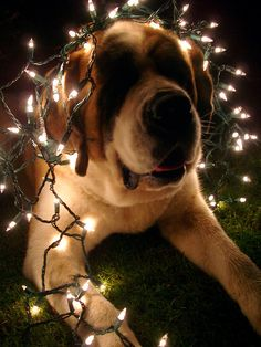 A St Bernard wrapped in fairy lights, brilliant!