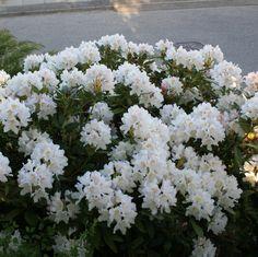 http://rhodo-roskilde.dk/rhododendron/cunningham-s-white.html