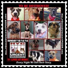 AND THE EVIL MURDERERS AT NYC ACC CONTINUING THEIR WORK ON 10/16/16 - 11 PRECIOUS DOGS ARE LISTED TO BE MURDERED - Info Please Share: To rescue a Death Row Dog, Please read this:http://information.urgentpodr.org/adoption-info-and-list-of-rescues/ To view the full album, please click here: http://nycdogs.urgentpodr.org/tbd-dogs-page/ Please Share:- Click for info & Current Status: http://nycdogs.urgentpodr.org/to-be-destroyed-4915/