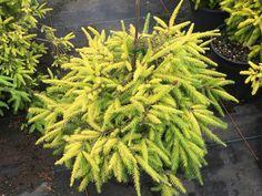 Picea abies 'Lemon Flare'