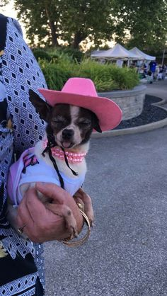 c3608e1d0cb52 Sweet little Chihuahua wearing her hat and necklace. She looks like she  just sucked on a lemon though.