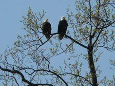 Eagles, Dragon Run, Del City Del City, Delaware City, Eagles, Bald Eagle, Dragon, Animals, Animales, Eagle, Animaux