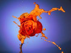 Orange rose splash