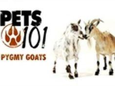 pygmy goats :)