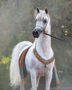 Kamal Abn Adeed// The most beautiful horse I've ever seen Beautiful Arabian Horses, Majestic Horse, Pretty Horses, Horse Love, Beautiful Creatures, Animals Beautiful, Cute Animals, Horse Pictures, Animal Pictures