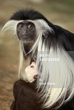 Notícias Foto: Olivia um macaco colobus angolano fiveyearold ...