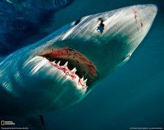 The shark !!
