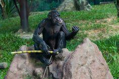 Chimpanzee / Schimpanse (Pan) - Zoo Negara, Kuala Lumpur, Malaysia