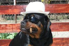 Rottweiler Halloween costumes - Some of the greatest pet costumes ever - Treats Happen Rottweiler Training, Rottweiler Dog, Pet Costumes, Halloween Costumes, Costume Ideas, Types Of German Shepherd, German Shepherds, Pet Dogs, Dogs And Puppies