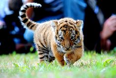 oh haaaaaaaaai i'm a baby tiger and i'm adorable but i can still rip your face off! Baby Tigers, Cute Tigers, Baby Cubs, Tiger Pictures, Animal Pictures, Beautiful Cats, Animals Beautiful, Cute Baby Animals, Funny Animals