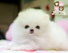Teacup White Pomeranian Pom Pom Puppy Dogs (Similiar to the Volpino Italiano / Italian Spitz ) Cute Puppies For Sale, Cute Baby Puppies, Really Cute Puppies, Tiny Puppies, Cute Baby Animals, White Pomeranian Puppies, Teacup Puppies, Teacup Pomeranian, Pom Pom Puppies