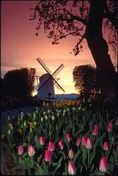 Windmill and tulips at sunset