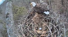 They're the symbol of our nation--and now you have the chance to watch the nesting habits of bald eagles live.