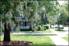 Yellowwood....state bicentennial tree of Tennessee in 1991. The yellowwood has wisteria-like blossoms in spring (approximately one foot long) and the leaves turn a bright gold in autumn.