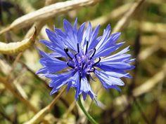 40 types of blue flowers including Iris, Hydrangea and Cornflower Types Of Blue Flowers, Wild Flowers, Purple Flowers, Iris Flowers, Bright Flowers, Glory Of The Snow, Blue Flower Arrangements, Perennial Geranium, Flower Garden Plans