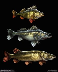 Pike perch zander illustration