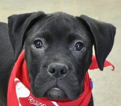 Emerson is an adoptable Boxer, Pit Bull Terrier Dog in Roselle, IL If you are looking for a sweet, smart puppy, Emerson is the pup for you.  Emerson is an all-aro ... ...Read more about me on @petfinder.com