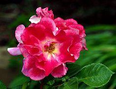 Rosas Arte - Volantes de Jean Noren