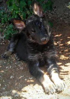 Listing Dog for Adoption German Shepherd Dogs, German Shepherds, Rescue Puppies, Adoption, Angels, California, Pets, Gender Female, Baby