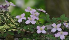 Clematis montana in spring