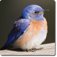 Western #Bluebird U2013 Learn About Your Backyard Birds U2013 Backyard Wild #Bird  Directory U2013
