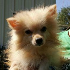 Theodore is an adoptable Pomeranian searching for a forever family near Columbia, MO. Use Petfinder to find adoptable pets in your area.