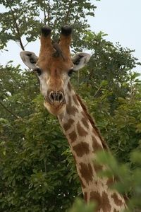 Over many generations, the giraffe has evolved its unique shape to take advantage of its environment. Giraffe Neck, Giraffe Costume, Giraffe Tattoos, Tattoos With Meaning, Life Cycles, Bing Images, Art Projects, Africa, Creatures