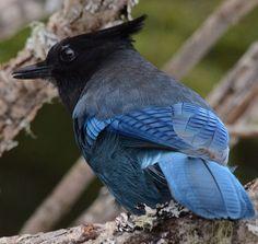 River of Blue, Back of Blue, Steller's Jay