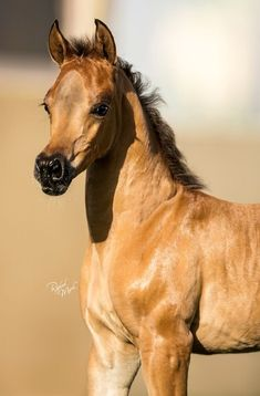Arabian foal too cute! #Arabians #Foal #Photography