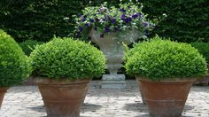 Buxus planten in potten - DCM