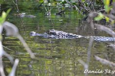 Aligator. Rurrenabaque. Bolivia