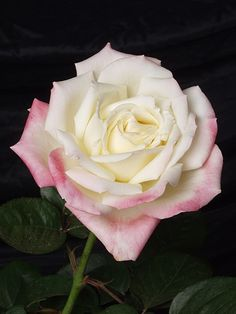 ~Hybrid Tea Rose: Rosa Helen Naudé (Germany, 1996)