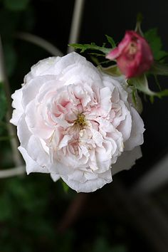 Hybrid Noisette Rose: Rosa 'Madame Alfred de Rougemont' (France, 1862) White pink shadings, carmine edges.Moderate fragrance.