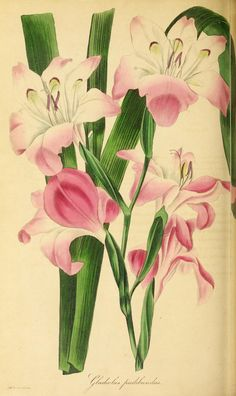1836 - Paxton's Magazine of Botany and Register of Flowering Plants by Paxton, Sir Joseph - clianthus puniceus Botanical Drawings, Botanical Illustration, Botanical Flowers, Botanical Prints, Gladiolus, Vintage Artwork, Planting Flowers, Flowering Plants, Flower Pictures