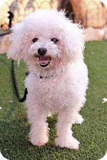 Vancouver, BC - Poodle (Miniature) Mix. Meet George, a dog for adoption. http://www.adoptapet.com/pet/16958393-vancouver-british-columbia-poodle-miniature-mix
