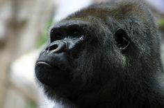 Nahaufnahme eines Berggorillas auf einer Ruanda Reise