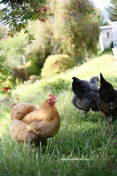 Backyard #chickens