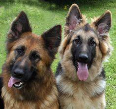 #German #Shepherds.   //Beautiful, I miss my German Shepard, Bandit, EL//